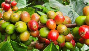 kolorowe ziarna kawy na krzaku