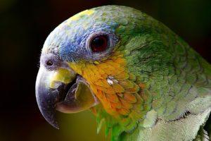 głowa papugi