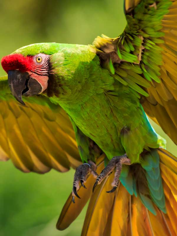 zielona papuga ara w locie