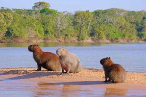 rodzina kapibarów na piaszczystej wysepce na rzece
