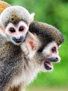 dwie małpki sajmiri