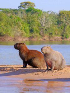 para kapibar