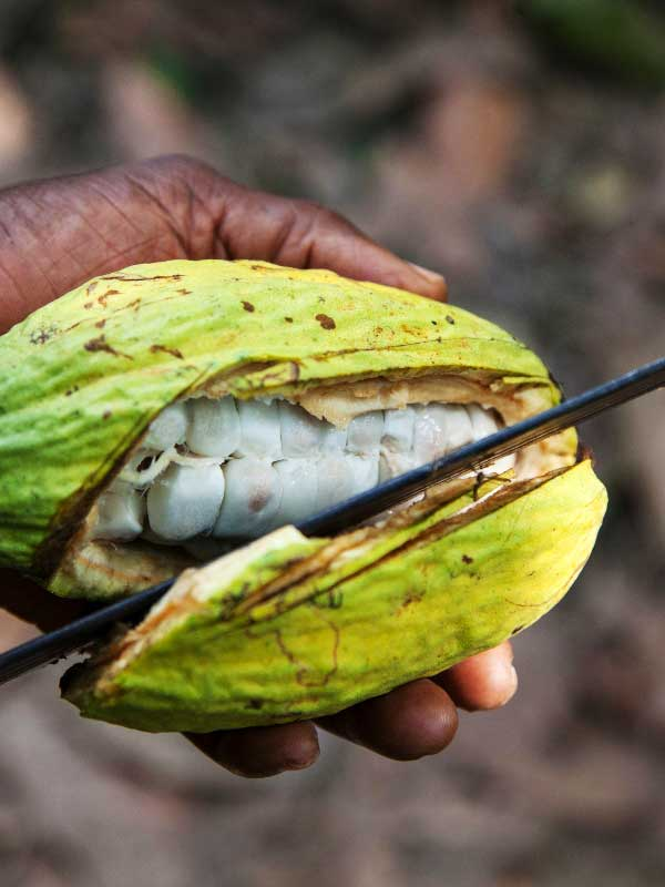 ziarno kakao przecinane na pół nożem