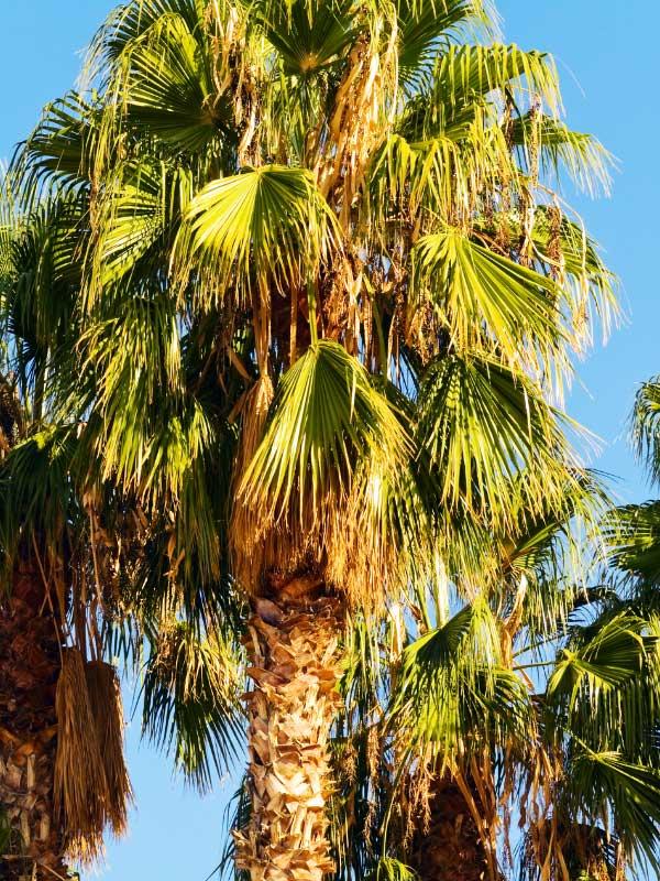 palma afrykańska
