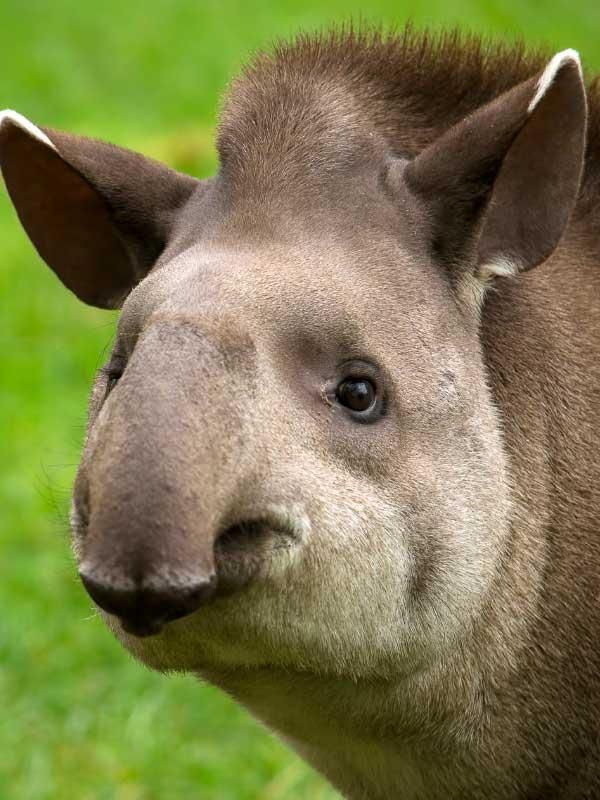 mordka tapira