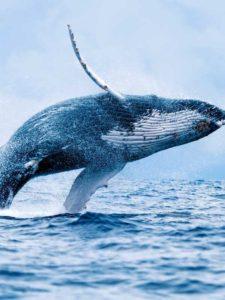 skaczący wieloryb