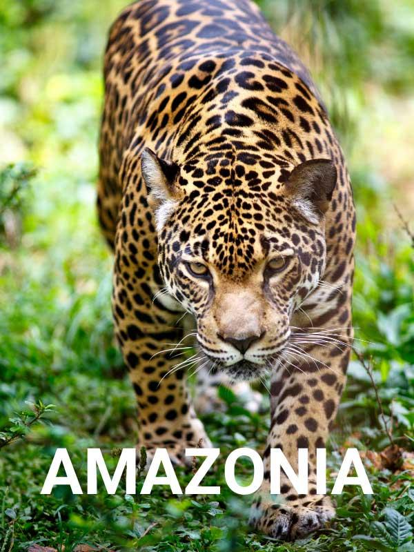 jaguar napis amazonia