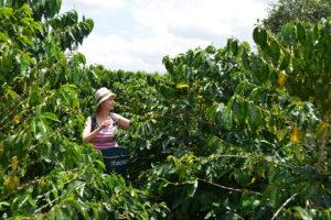 Kobieta zbiera kawę wśród drzew kawy