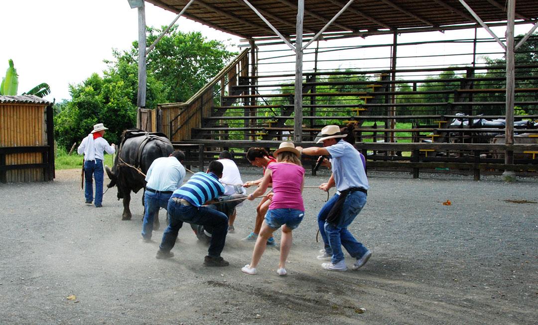 Kilku ludzi próbuje przeciągnąć byka