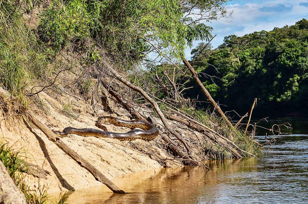 Anakonda na piaszczystym brzegu rzeki
