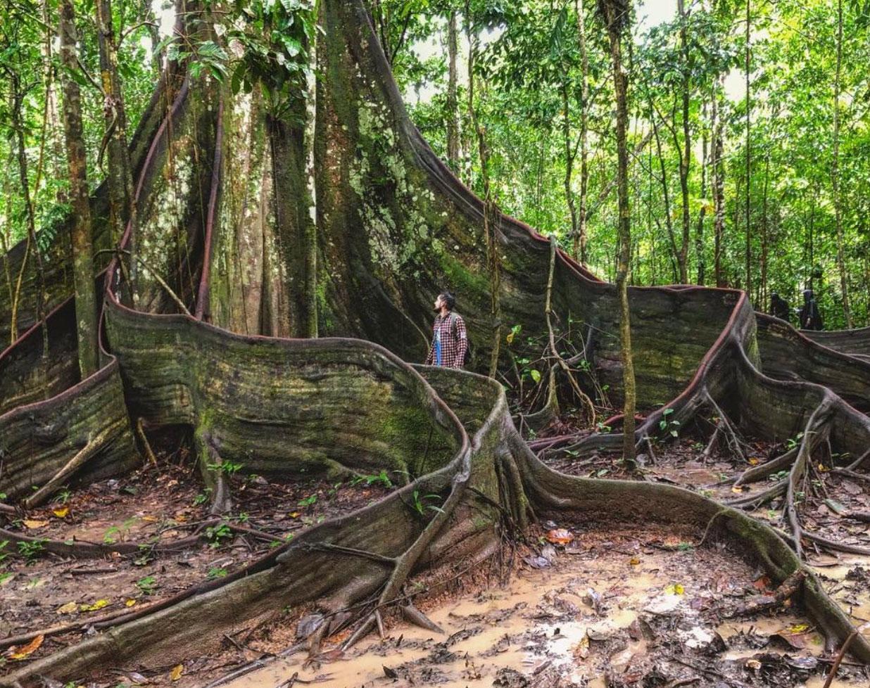 Mężczyzna stojący w korzeniach ogromnego drzewa puchowca